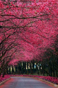 Japan ✯ Sakura Trees...One Day I will
