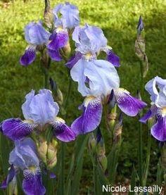Nicole Lassailly | Historic Iris Preservation Society