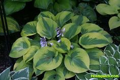 Hosta 'Sara's Sensation'Beautiful Flower Cough Glorious Gardens ...