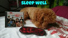 Sleep well   (tags: apricot fawn cute miniature poodle dog Leo Leonardo bed night funny)
