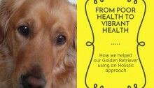Find out more by reading the blog post https://melaniesholistichealing.wordpress.com/category/four-paws-and-a-holistic-approach #goldenretrievers #doglovers #dogsofinstagram #dogs #dogshealth #dogsheal #holistic #hipdysplasia #osteoarthritis #goldenretriever #welovegoldens