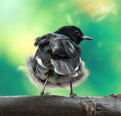 Magpie-robins or shamas are medium-sized insectivorous birds in the genera Copsychus and Trichixos. They were formerly in the thrush family Turdidae, but are more often now treated as part of the Old World flycatcher family Muscicapidae.