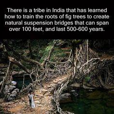 """""""Vi è una tribù in India, che ha imparato a formare le radici degli alberi di ficus per creare ponti sospesi naturali che possono estendersi più di 100 piedi, e durare per 500-600 anni."""" I ponti di radice vivente di Cherrapunji, Laitkynsew e Nongriat, nella odierna Meghalaya stato del nord-est dell'India. Si tratta di una forma di albero di formatura, che crea questi ponti sospesi, che sono fatti a mano dalle radici aeree di vivere fichi banyan, come il Ficus elastica."""