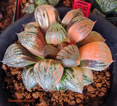 Haworthia 'Sweet Candy'