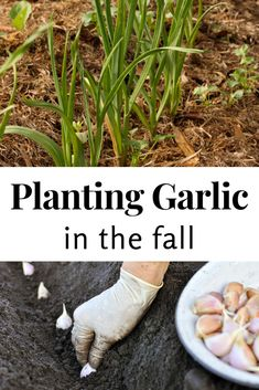 Great tips on when to plant garlic, when to harvest garlic and how to store garlic. When To Harvest Garlic, When To Plant Garlic, Planting Garlic, Planting Potatoes, When To Plant Potatoes, When To Harvest Potatoes, Organic Gardening, Gardening Tips, Harvesting Garlic