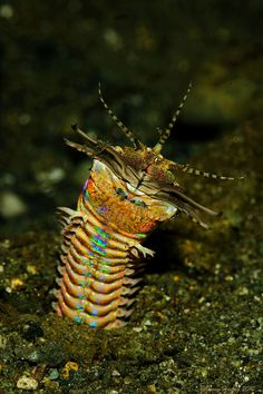 Bobbit Worm - Eunice aphroditois - An aquatic predatory polychaete worm which dwells at the ocean floors in warmer oceans around the world, including the Indo-Pacific and Atlantic Oceans. Buried in the ocean bed composed of gravel, mud or corals, it awaits the stimulus of one of its five antennae. Once triggered, the Bobbit worm lunges upward at its prey with scissor-like mandibles snapping shut on its prey. It has been known to move so fast, its prey is sliced in half - Image : Jenny on…