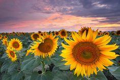 https://flic.kr/p/faKw7q | Sunflowers in Dusk