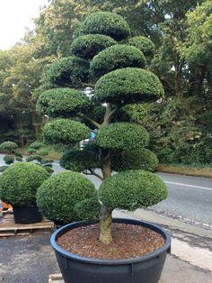 Arbres Nuage japonais - Bonsai Geant Juniperus virg. 'Glauca' Acheter Vos Arbres chez le sp�cialiste du Jardin Zen fran�ais . ART Garden http://www.art-garden.fr