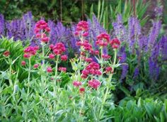 Centranthus ruber with Salvia 'East Friesland'; Dee's Gardens