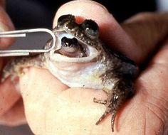 mouth-brooding frog, gastric brooding frog, Rheobatrachus vitellinus (2)
