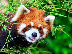 Red Panda, Umi of Nogeyama Zoo / 野毛山動物園のレッサーパンダの海くん | Flickr - Photo Sharing!