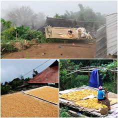 Corn being shucked and dried in an Akha village outside Jinghong in Xishuangbanna, Yunnan province. 云南省西双版纳, 景洪外的一个小山村