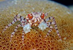 Genus Lybia    (Boxer Crabs)    also known as pom-pom crabs, Boxer Crabs are a genus of small crabs in the family Xanthidae (mud crabs). the name pom-pom/or boxer comes from the mutualism that they hold with sea anemones, in which they hold the cnidarian in their claws and use them for defense, and in turn the sea anemone gets more food by moving around.
