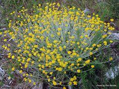 Helichrysum_cymosum__Yellow-tipped_straw-flower__.JPG 1,024×768 pixels