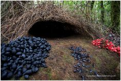 The bower bird builds elaborate nests to attract females for mating- sounds like a natural architect