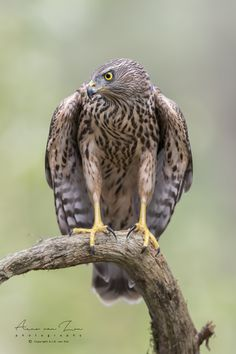The prins. (Arno van Zon / Heemskerk / The Netherlands) X Mark II Northern Goshawk, Arno, Birds Of Prey, Have A Great Day, Beautiful Images, Bald Eagle, Cool Photos, Animals, Animales
