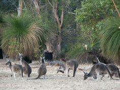 Kangaroos at Yanchep National Park, Western Australia.