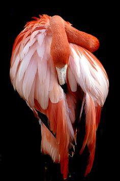 Riverbanks flamingo by Vega Chastain, via Flickr