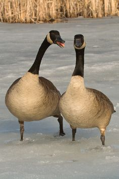 Canada geese mate for life!