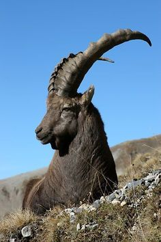 Bouquetin/Steinbock~cool as a Capricorn . : Bouquetin/Steinbock~cool as a Capricorn . Animals With Horns, Animals And Pets, Cute Animals, Beautiful Creatures, Animals Beautiful, Photos Voyages, Nature Animals, Belle Photo, Animal Photography