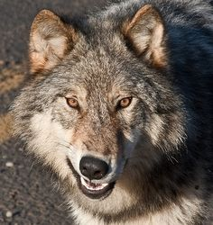 Snarling Wolf Face Snarling wolf face