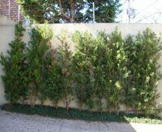 Podocarpus - Canteiro