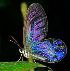 Citharias Andromeda glasswing butterfly