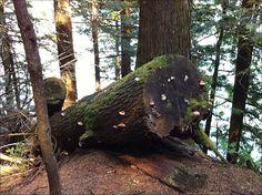 Old log with fungus that resemble seashells. Hicks Lake trail.