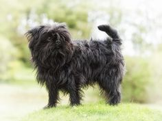Compare the Affenpinscher to the Brussels Griffon. Lhasa Apso, Puppy Pictures, Dog Photos, Cute Small Dogs, Griffon Bruxellois, Brussels Griffon, Pet Id, Small Dog Breeds, Training Your Dog