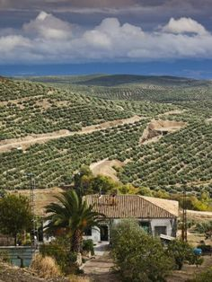 Olive Groves, Ubeda, Spain