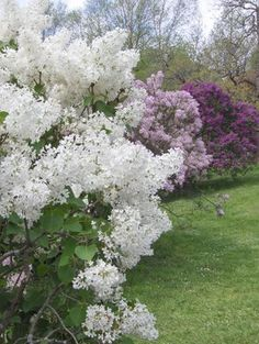 Color Outside the Lines: Rochester Lilac Festival