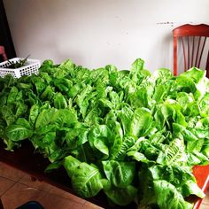 Rain gutter lettuces!  4 rain gutters = 80 Little Gem lettuce heads!  BAMI'm getting excited about the growing season ahead what about you?#verticalfarming #urbanfarming #organicfarming #food #agriculture #urbangardenersrep #growsomethinggreen #epicgardening #urbanorganicgardener #gardeningtips #finegardening #urban_farming #gardening #beauty #summer #healthy #plantbased #Indoorgardening #instagardener_feature #finegardening by theplantcharmer