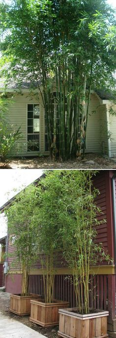 Nj Bamboo Landscaping: Bamboo Plants & Privacy Hedges