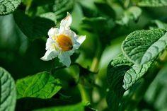 fleur de patate