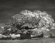 Pendant 14 ans elle photographie les arbres les plus vieux du monde Des portraits du temps Page 2 de 2
