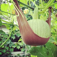 Panty hose hammock for pumpkin growing