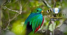 Quetzal, National bird - Photo by Enmanuel Ramirez | Only the best of Guatemala