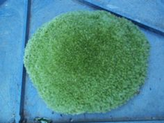 Live Cushion Moss  Large 3 to 412 Plants for Garden * Visit the image link more details.