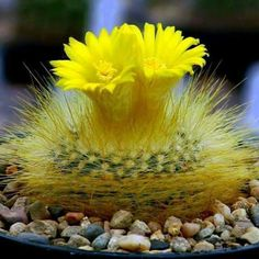 Beautiful cactus all dressed in yellow.