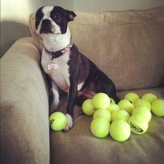 I'm rich!!! So true. Chloe, the Boston,  loves her Tennis balls.