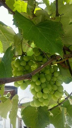 Uvas verdes no jardim