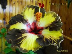 Rose Of Sharon, Hibiscus Flowers, Begonia, Outdoor Plants, Container Plants, Trees To Plant, Beautiful Flowers, Tropical, Minka