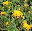 http://botanicalguides.com/imphepho.html Imphepho was and still is used by African cultures for inducing more vivid and incredible dreams.