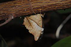 http://fluffylink.deviantart.com/art/Leaf-Butterfly-502218135