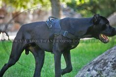 Interesting article on proper #Cane #Corso training. Pin now, read later!
