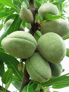 Organic almond oil, containing Vitamins E and D this oil is slower to be absorption thus providing a protective layer on the skin. Helps the skin to become smooth, soft and supple. Good for most skin types – particularly dry and sensitive.
