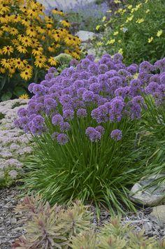 'Millenium' - Ornamental Onion - Allium hybrid