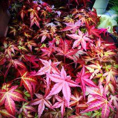 Maple Bonsai, Flowers, Plants, Plant, Royal Icing Flowers, Flower, Florals, Floral, Planets