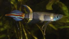 1000+ images about tropische vissen on Pinterest Freshwater aquarium ...
