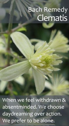 Bach Flower Remedy, Clematis - helping us to regain our vibrancy, purpose and appetite for life when we feel stuck in dreaminess, absentmindedness and low energy.